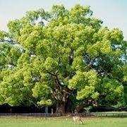 canfora albero