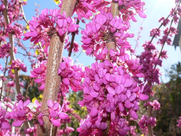 Albero di giuda cercis siliquastrum alberi il for Alberi da giardino con fiori
