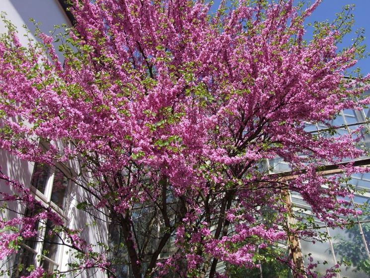 esposizione albero di giuda