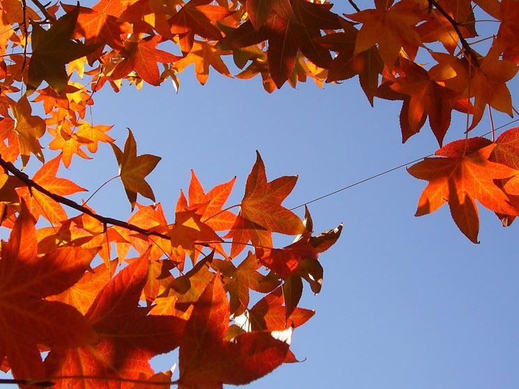 Fogliame dell'albero di Liquidambar