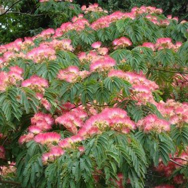 Fiori e foglie di albizia julibrissin