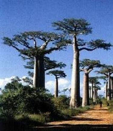 foto baobab