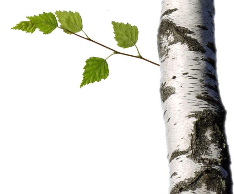 Tronco betulla bianca