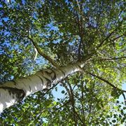 betulla albero
