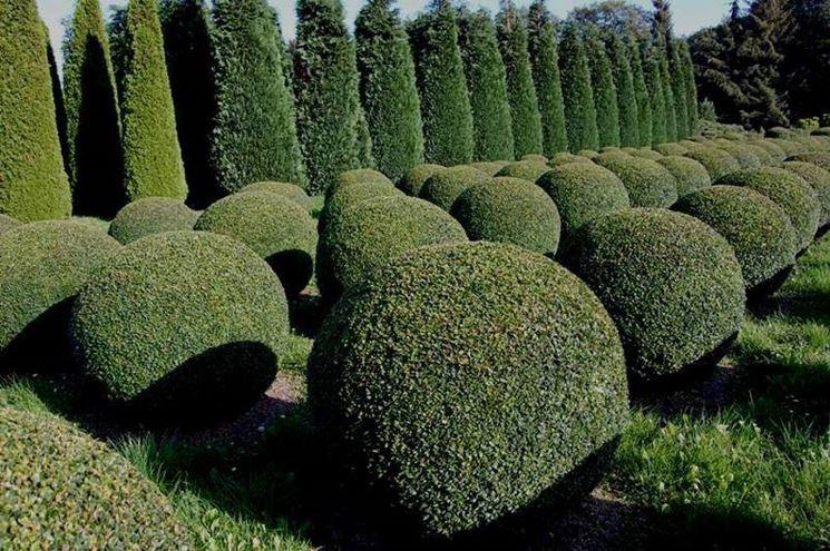 Buxus sempervirens con forma rotonda