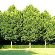 Alberi carpino