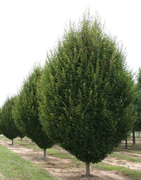 Carpino carpinus betulus alberi - Alberi bassi da giardino ...