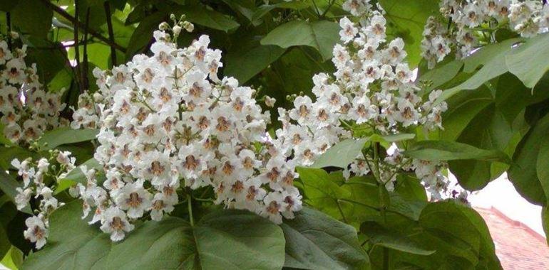<h6>Catalpa bignonioides</h6>Entra nel sito e scopri tutto ci� che ancora non sai sulla Catalpa bignonioides: cura, coltivazione e fioritura