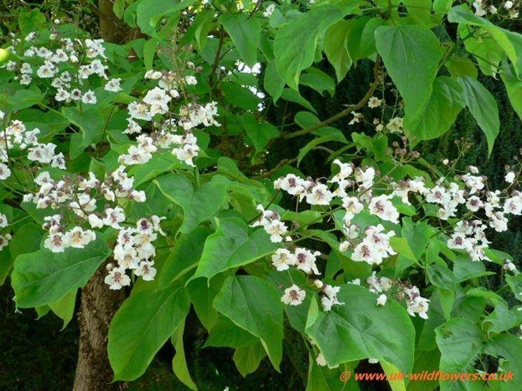 Catalpa in fiore