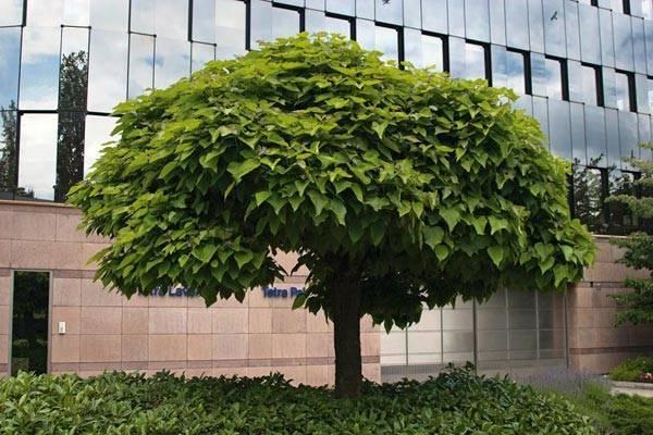 Catalpa alberi catalpa pianta - Catalpa zanzare ...