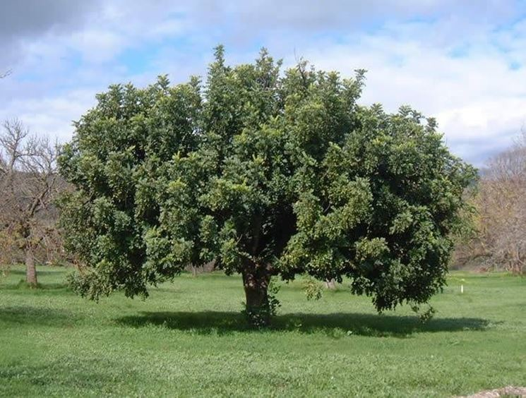 Dettaglio frutti Ceratonia siliqua.