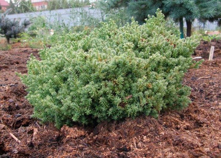 Esempio di Chamaecyparis coltivato in piena terra.