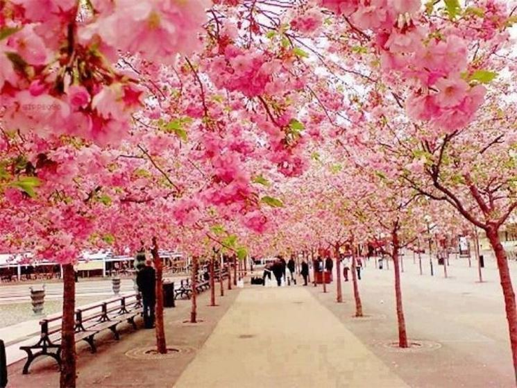 Un viale di ciliegi da fiore giapponesi