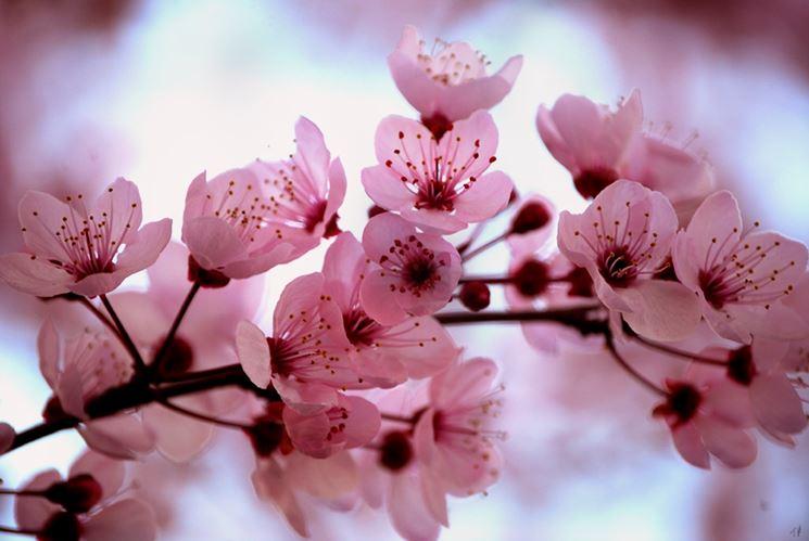 Disegno di un ciliegio da fiore