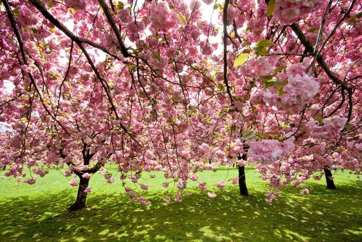 Un giardino pubblico con ciliegi da fiore