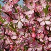 fiore ciliegio