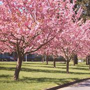 albero di ciliegio prezzo