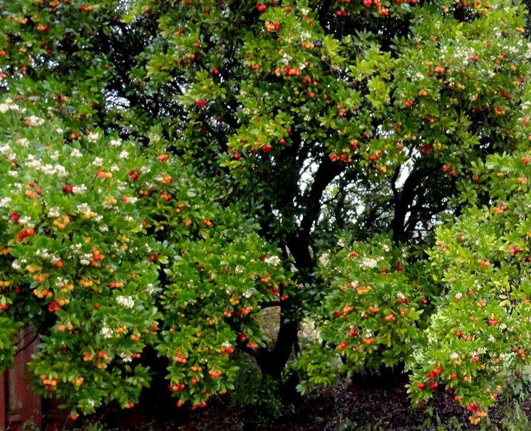 Piante corbezzoli fiori frutti