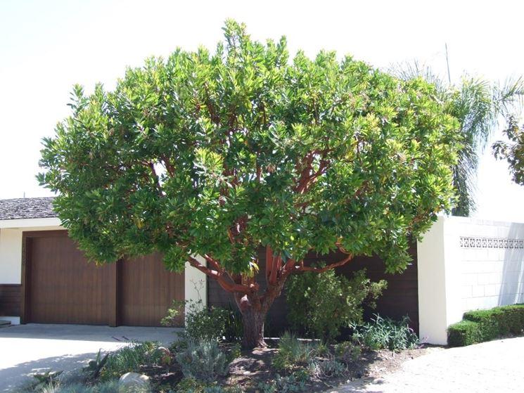 pianta corbezzolo