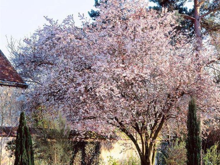 Un ciliegio da giardino in fioritura