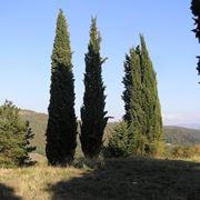 Disegno botanico del cupressus sempervirens