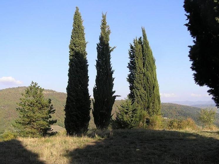 Disegno botanico del <em>cupressus</em> sempervirens