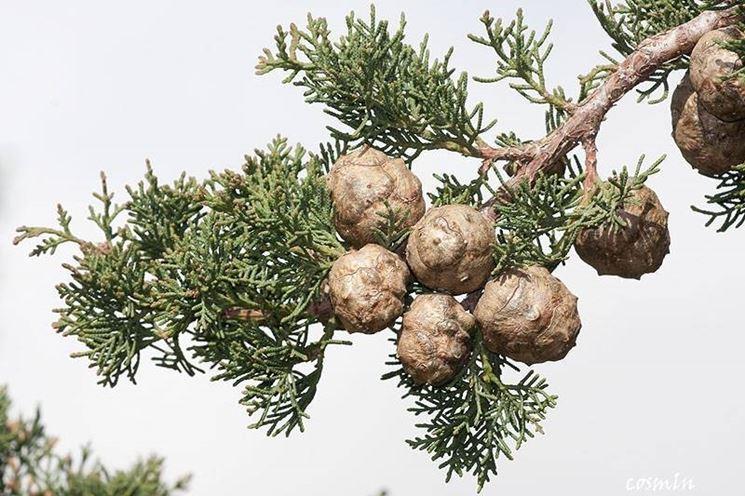 Foglie e frutti del cupressus sempervirens