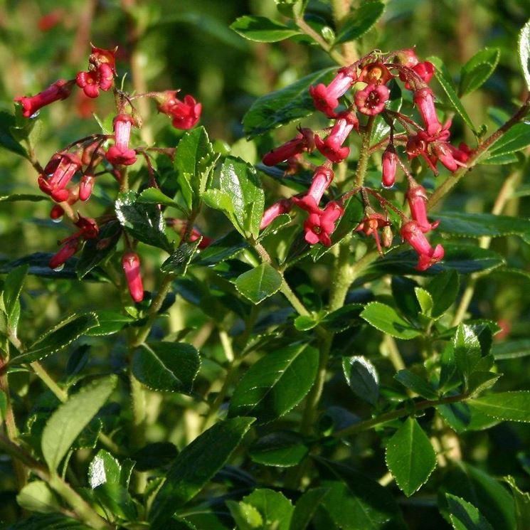 Esempio di fioritura Escallonia.
