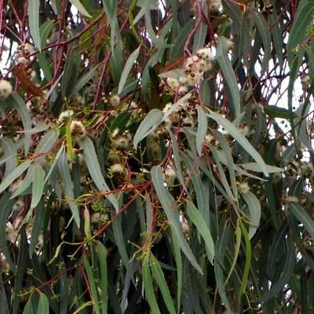 Eucalipto eucalyptus alberi for Nomi di alberi sempreverdi