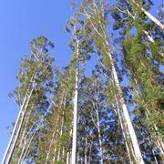 eucalipto pianta