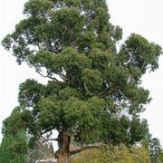 eucalipto albero