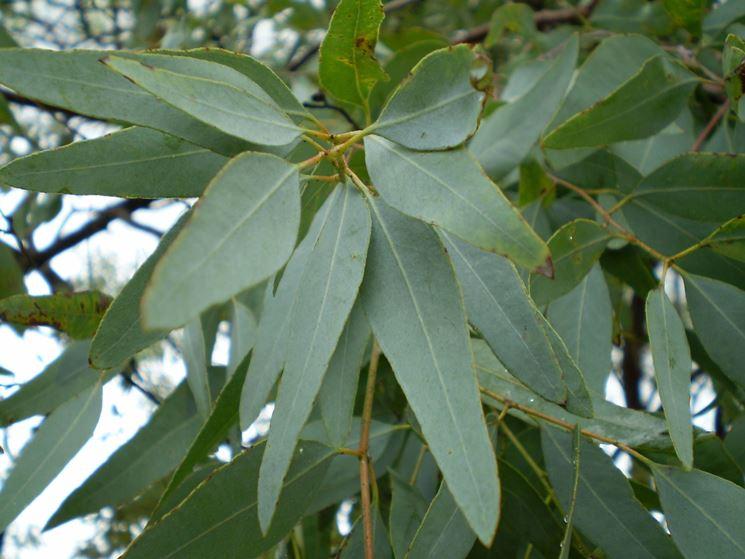 Fiori e foglie di Eucalipto