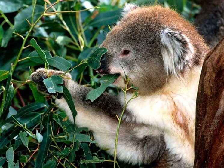 Un koala mangia foglie di Eucalipto