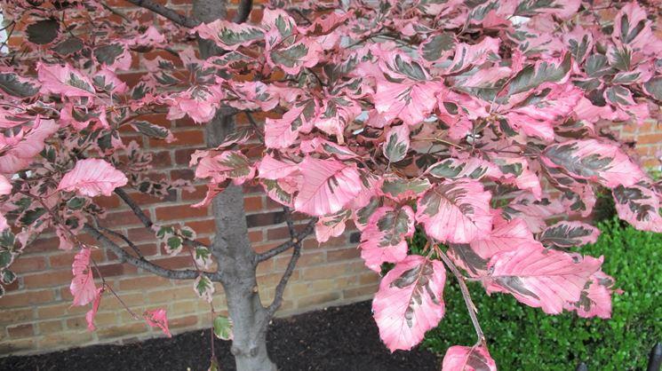 Albero foglie variegate