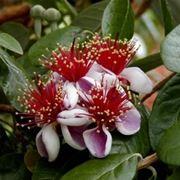frutto feijoa