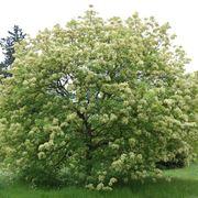 albero detto anche frassino