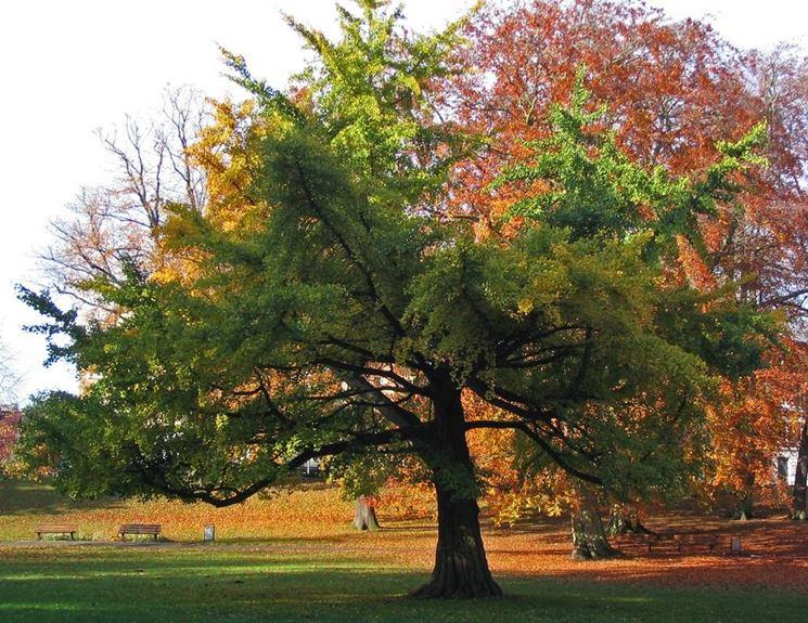 Ginkgo biloba prezzo alberi ginkgo biloba prezzo for Vendita online alberi da giardino