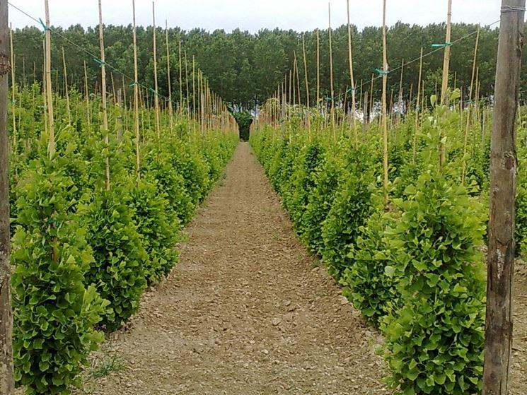 Ginkgo biloba prezzo alberi ginkgo biloba prezzo for Alberi da frutto prezzi