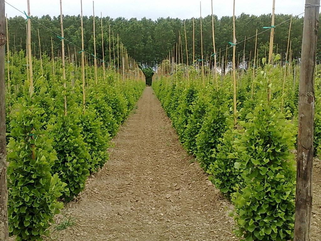 Ginkgo biloba prezzo alberi ginkgo biloba prezzo - Prezzi alberi da giardino ...