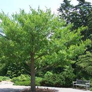 ginkgo biloba albero