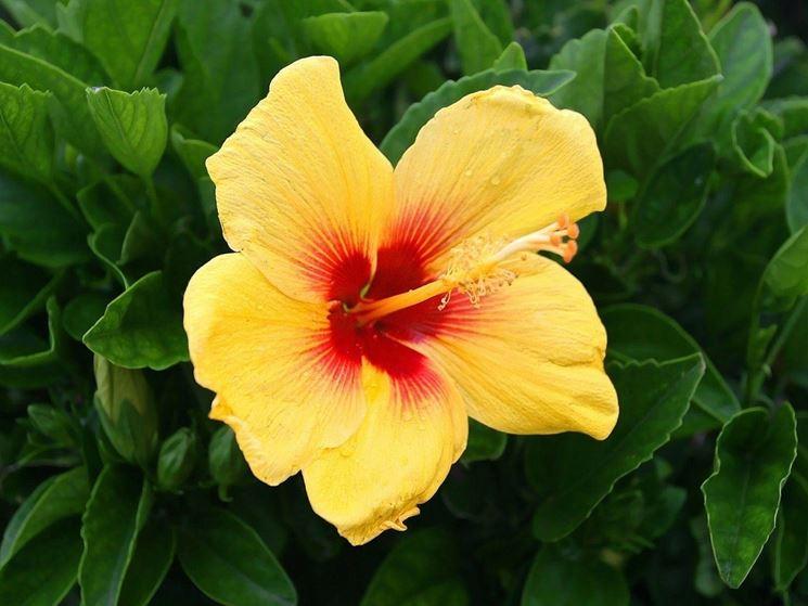 Fiore d'ibiscus