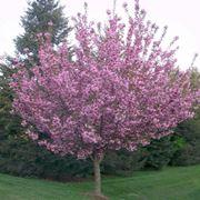 Albero ciliegio fiore