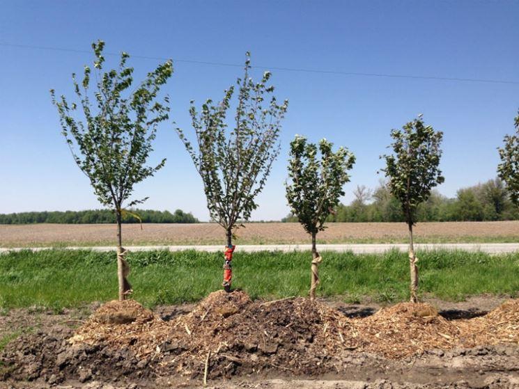 Coltivazione alberi ciliegi