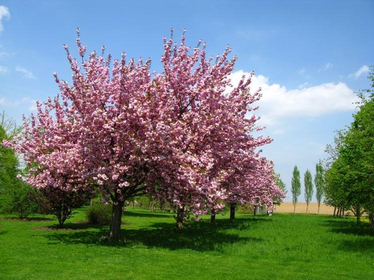 Il ciliegio da fiore alberi coltivare ciliegio for Pianta di ciliegio