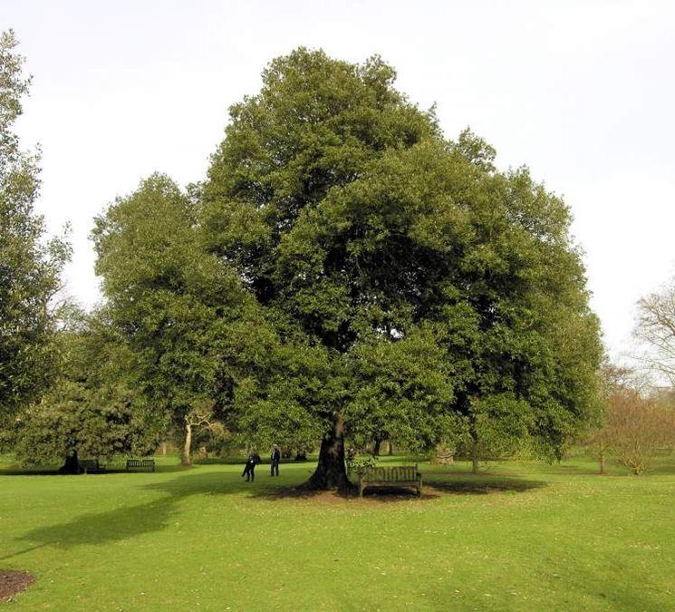 Il leccio alberi coltivare leccio for Alberi simili alle querce