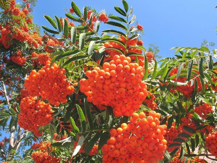 Frutti sorbo uccellatori