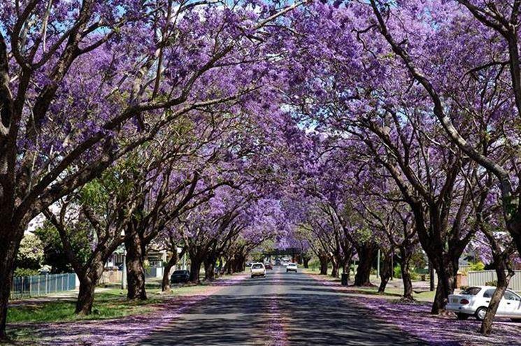 Jacaranda alberi jacaranda - Alberi adatti per viali ...