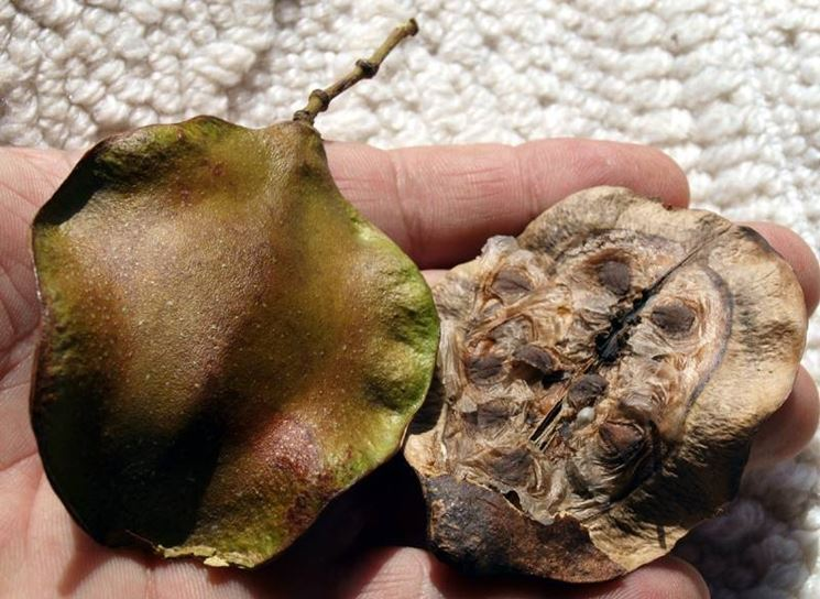 Frutto della Jacaranda.