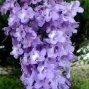 albero con fiori viola