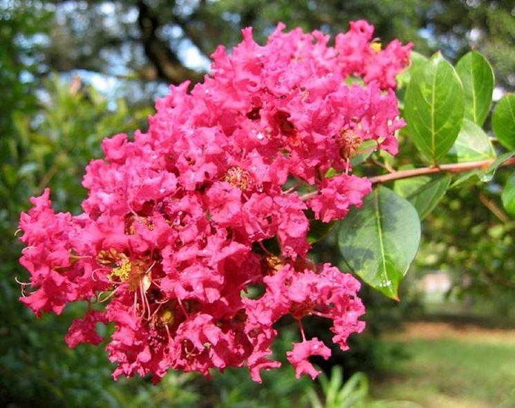Pianta di Lagerstroemia indica coltivata in piena terra.